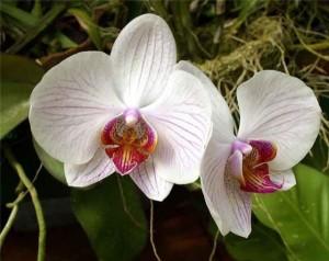 Декоративная орхидея