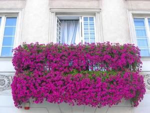 Фиолетовые плетущие цветы